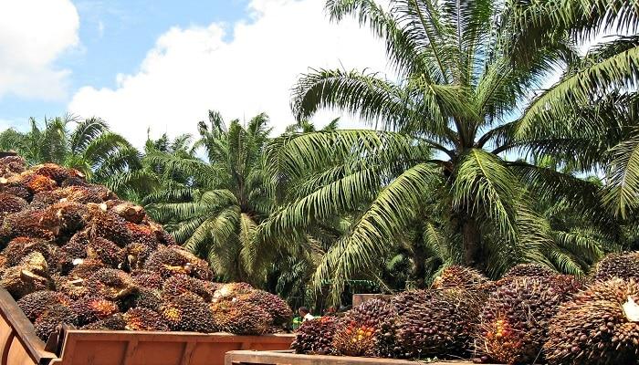 Origen aceite de palma